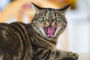 rabies cat transmiting disease to humans