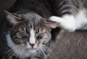 cat fleas diseases